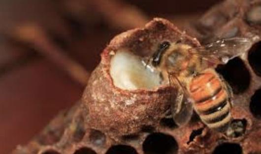 abeille et gelée royale