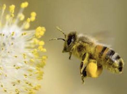 Pollen et abeille